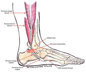 Peroneal retinaculum ankle anatomy