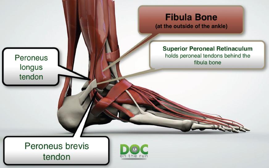 Peroneal tendons anatomy